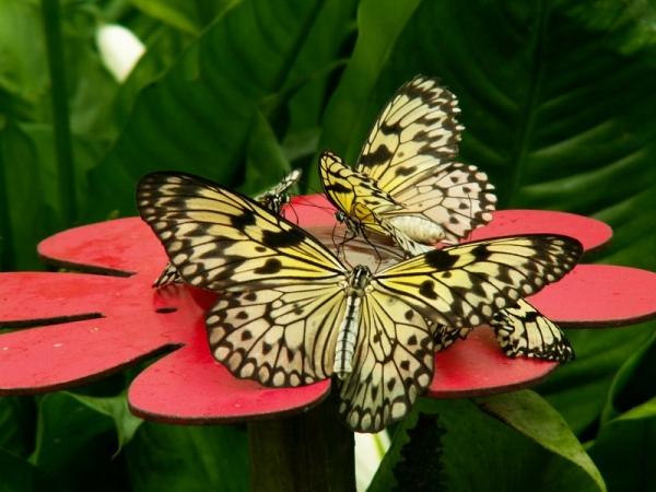 Jolis papillons (10)