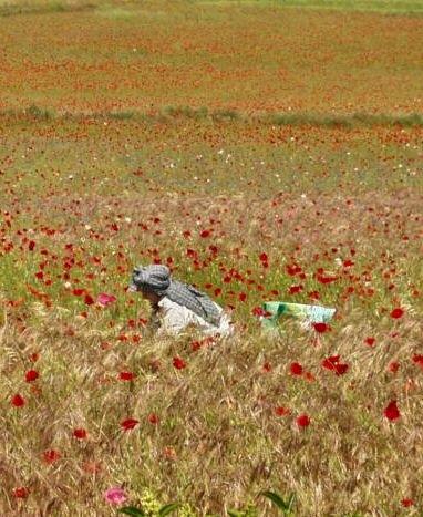 Peintre dans un champ de coquelicots