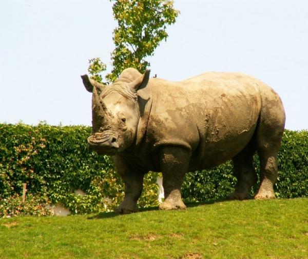 Le rhinocéros (1)