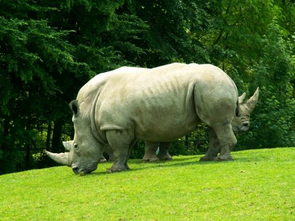 Le rhinocéros (2)