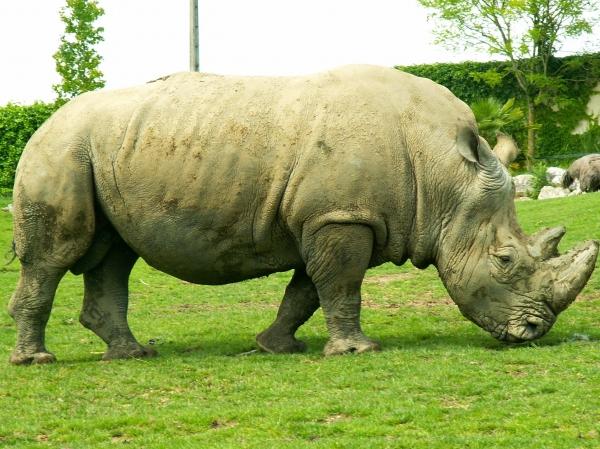 Le rhinocéros (3)