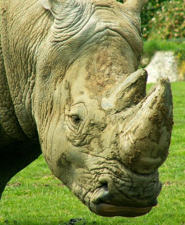 Le rhinocéros (4)