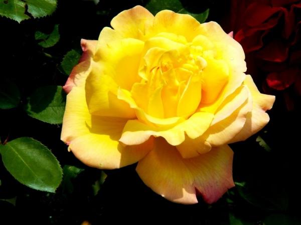 Les roses de Villandry (10)