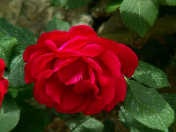 Les roses de Villandry (2)
