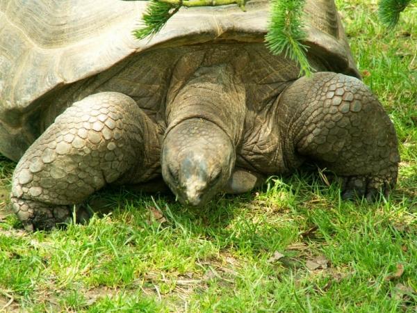 La tortue géante des Galapagos (2)