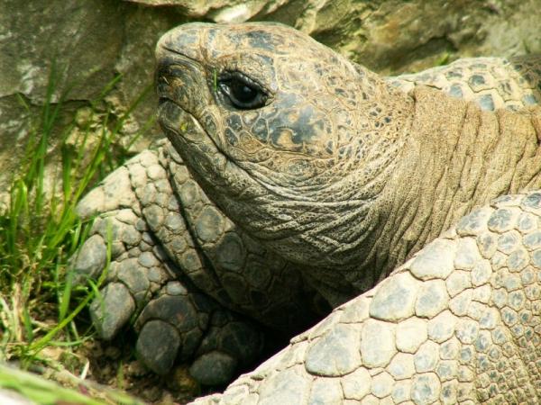 La tortue géante des Galapagos (3)