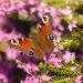 Papillon dans la bruyère