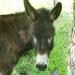 L'âne (2)