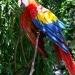 Perroquets (1)