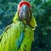 Perroquets (3)
