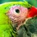 Perroquets (4)