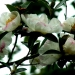 Fleurs de l'érica cinerea