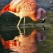 Flamant rose (3)