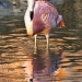 Flamant rose (2)