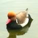 Les canards à Chenonceau (2)