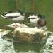 Les canards à Chenonceau (3)