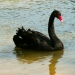 Le cygne noir (1)
