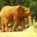 Éléphant d'Afrique (1)