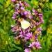 Fleurs champêtres (1)
