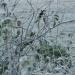 Première gelée blanche