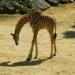 Le girafon