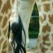 Les girafes (4)