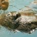 L'hippopotame (2)