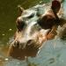 L'hippopotame (3)