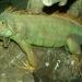 L'iguane vert (1)