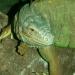 L'iguane vert (2)