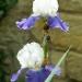 Le temps des iris (3)