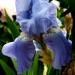 Le temps des iris (5)