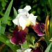 Le temps des iris (6)