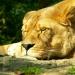 La lionne (2)