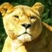 La lionne (3)