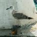 Mouette rieuse dans le port