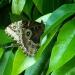 Jolis papillons (8)