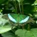 Jolis papillons (1)