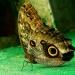 Jolis papillons (4)