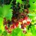Grappe de raisin (1)