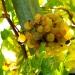 Grappe de raisin (2)