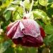 Rose en manteau blanc
