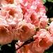 Les roses de Villandry (1)