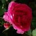 Les roses de Villandry (3)