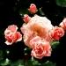 Les roses de Villandry (4)