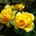 Les roses de Villandry (5)