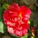 Les roses de Villandry (6)