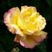 Les roses de Villandry (7)