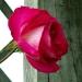 Les roses de Villandry (8)