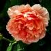 Les roses de Villandry (9)